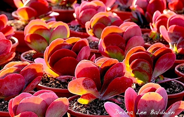 Kalanchoe Lucias: to cut or not?